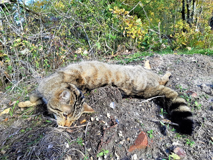 chat sauvage mort